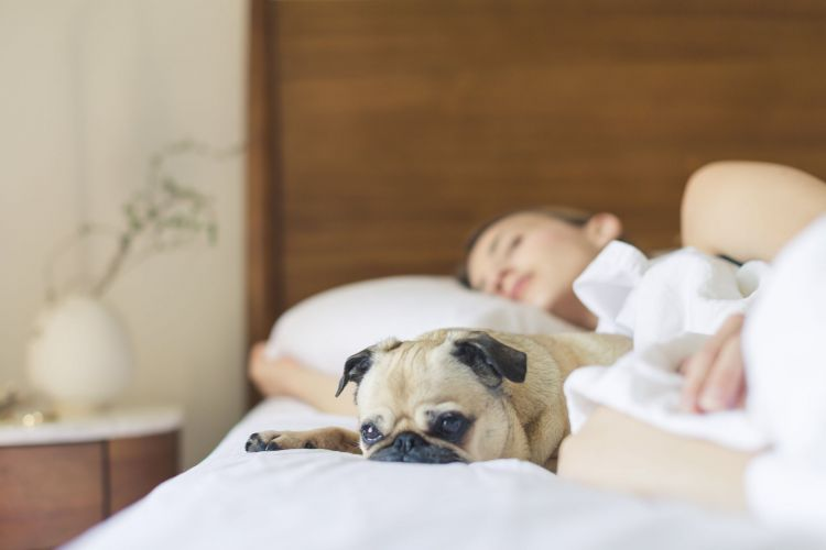 Canva - Pug Sleeping Beside Woman on Bed